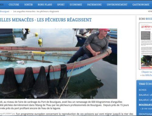 Les anguilles menacées : les pêcheurs réagissent… (Thau Infos)
